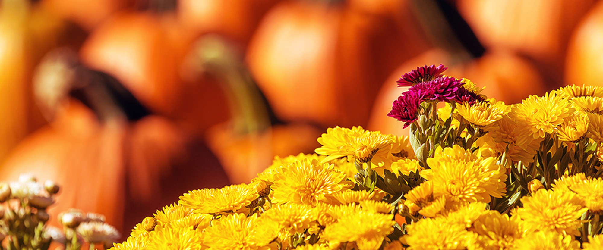 Mums the Word for Fall Decorating